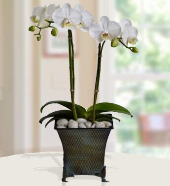 Pure love  Orchid